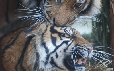 Tigers get turned on by CK Obsession at London Zoo